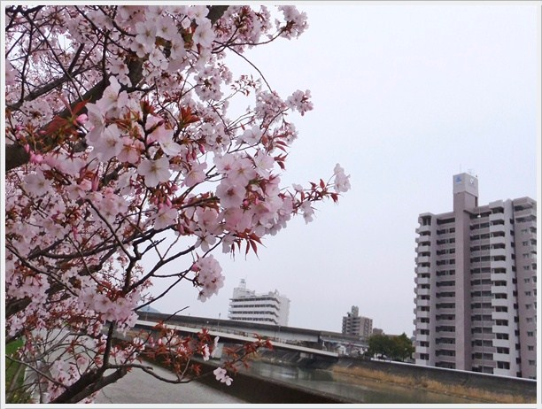 DSCF5410MPsakura.jpg