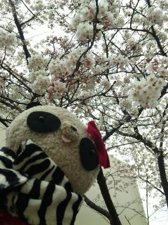 2010年の桜だよ
