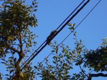 電線を渡るリス
