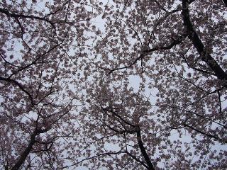 見上げると桜の空