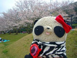 満開の桜だしょー