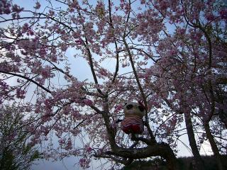 B氏桜に登ってお願いごと