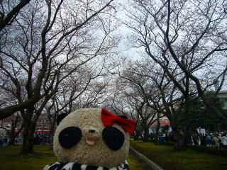 桜の見ごろはまだまだでした