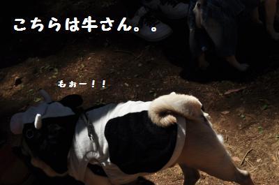 517cow pug