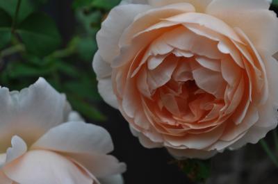 ambridge rose3