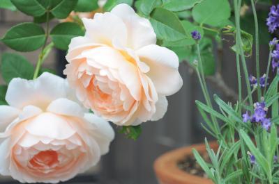 ambridge rose2