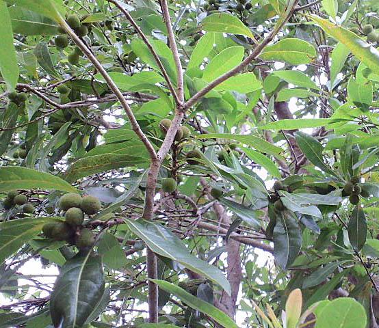 ヤマモモ(楊梅、山桜桃)
