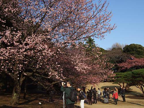 カンザクラ(新宿御苑)