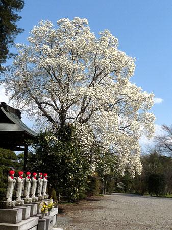海雲寺の白木蓮