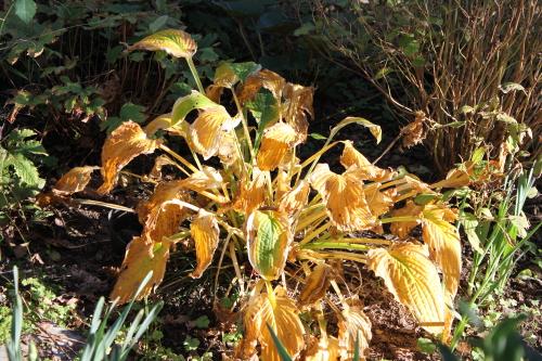 ギボウシの黄葉