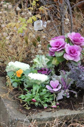 ハボタンの花壇