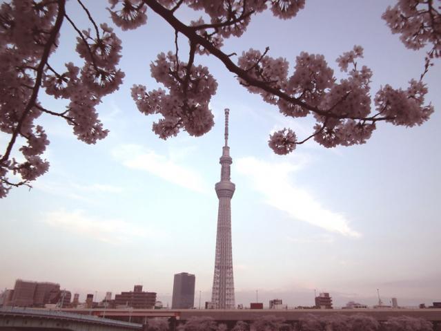 浅草 墨田公園の桜と東京スカイツリー