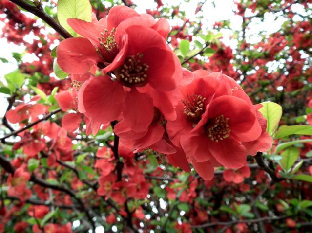 池上本門寺の桜(1)