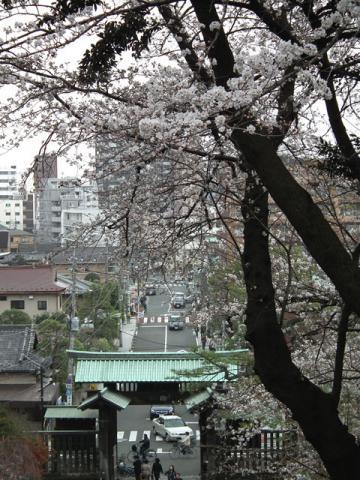 池上本門寺の桜(2)