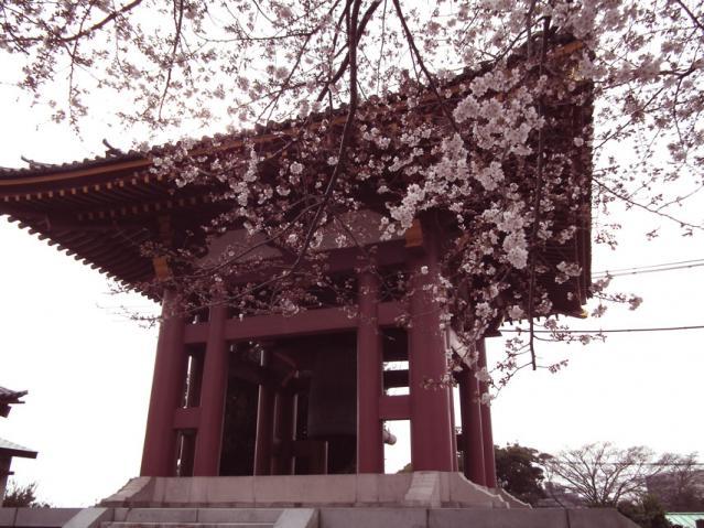 池上本門寺の桜(3)