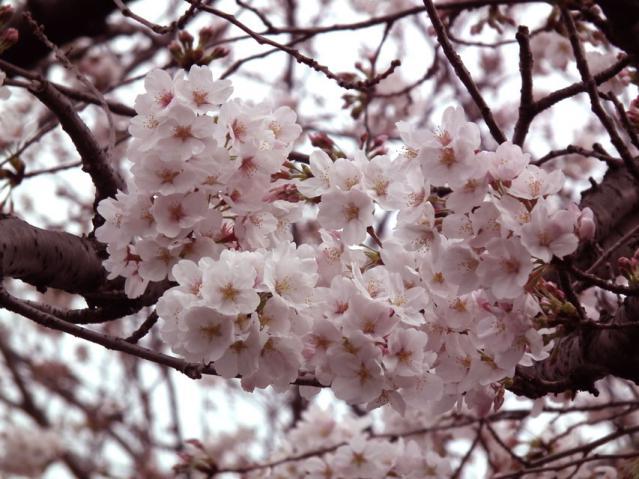 池上本門寺の桜(5)
