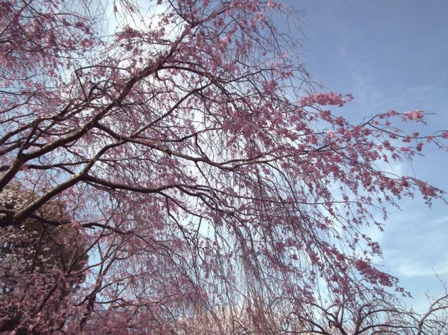 皇居・半蔵門周辺の桜(3)