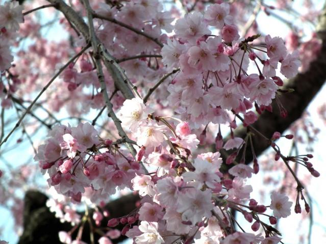 皇居・半蔵門周辺の桜(4)