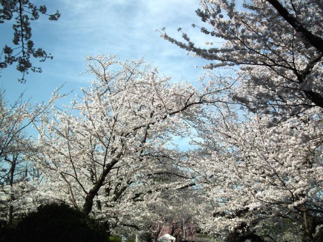 皇居・半蔵門周辺の桜(5)
