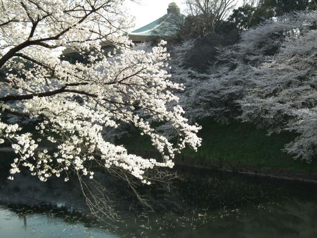 皇居・牛ヶ淵の桜と武道館の屋根