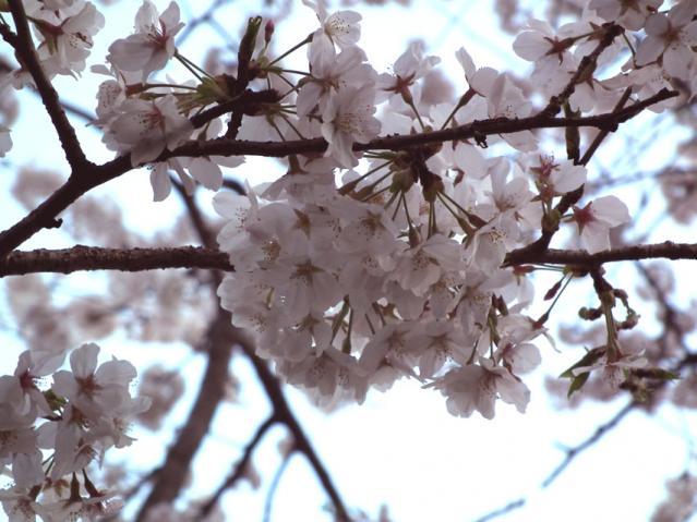 皇居・千鳥ヶ淵の桜(7)