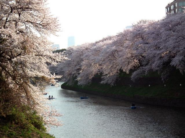 皇居・千鳥ヶ淵の桜(9)