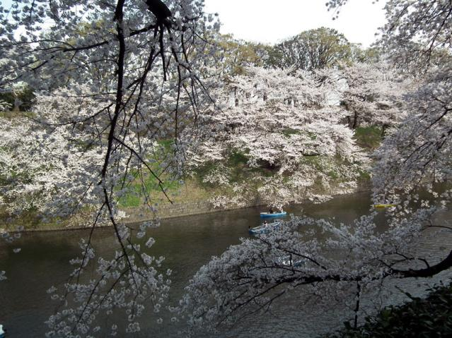 皇居・千鳥ヶ淵の桜(8)