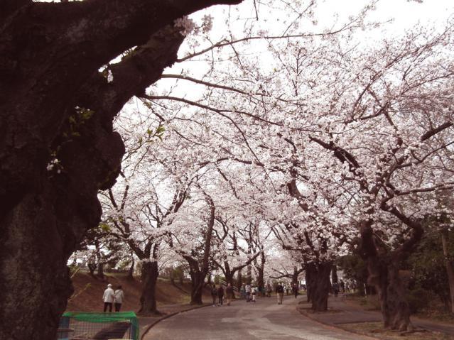 緑ヶ丘霊園の桜(1)