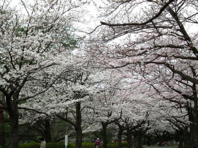 緑ヶ丘霊園の桜(2)