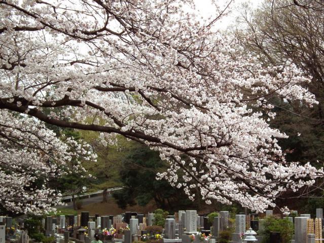 緑ヶ丘霊園の桜(3)