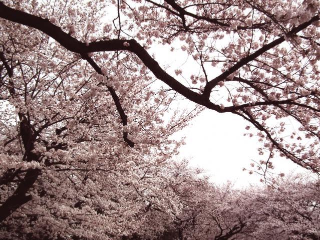 緑ヶ丘霊園の桜(4)