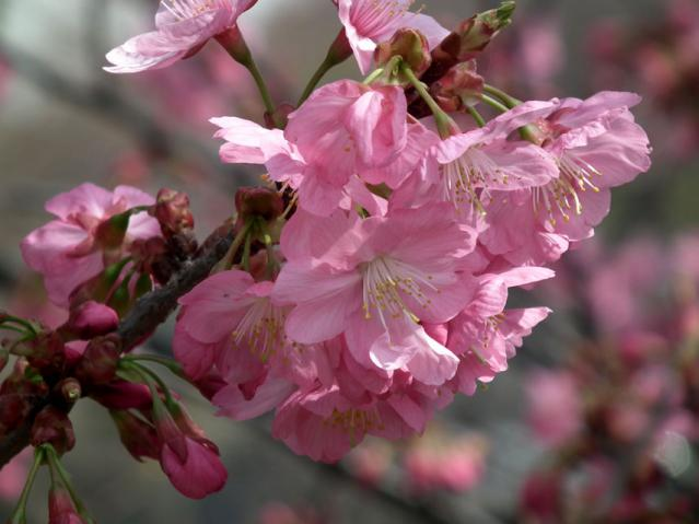 三ッ池公園の桜(1)