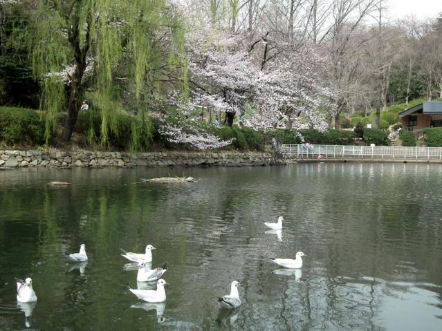 三ッ池公園の桜(2)