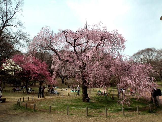 三ッ池公園の桜(3)