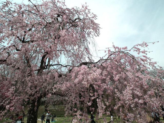 三ッ池公園の桜(4)