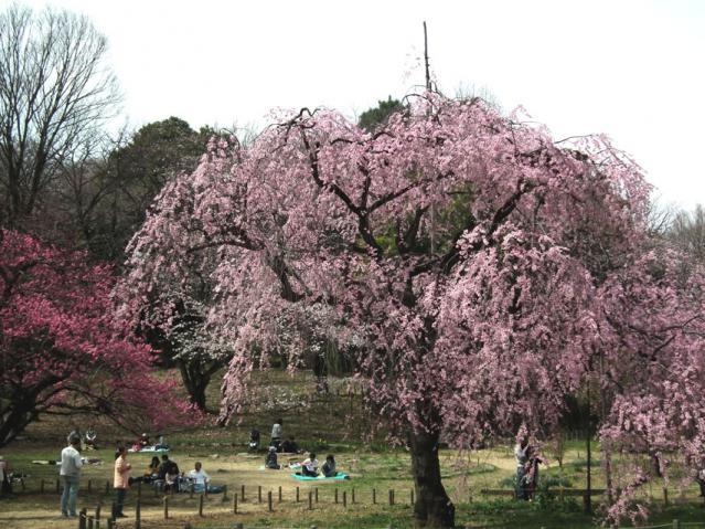 三ッ池公園の桜(6)