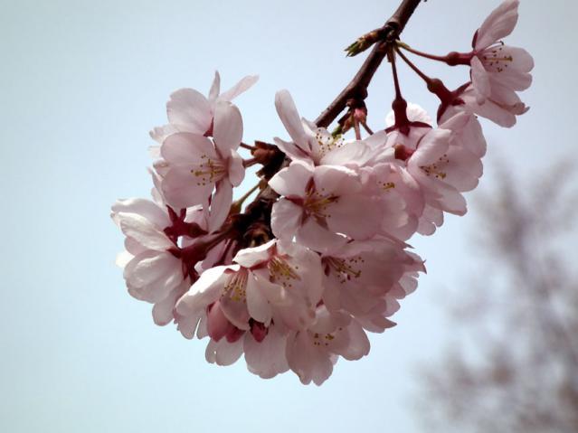 三ッ池公園の桜(7)