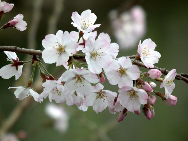 三ッ池公園の桜(8)