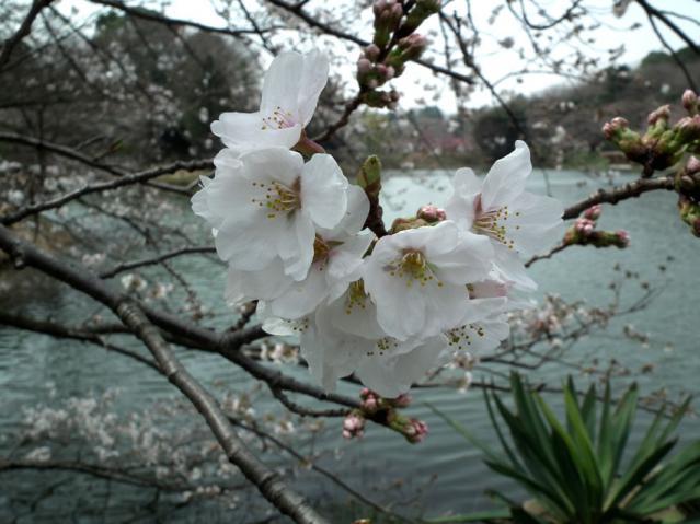 三ッ池公園の桜(9)