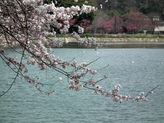 三ッ池公園の桜(10)