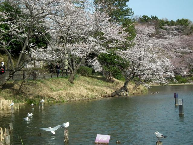 2013年 三ッ池公園の桜