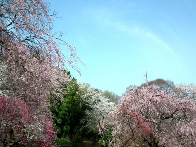 三ッ池公園の枝垂れ桜(2)