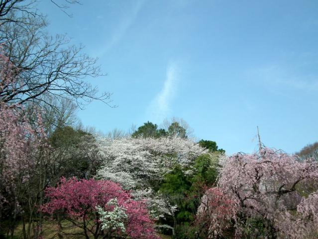 三ッ池公園の枝垂れ桜(3)