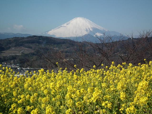 二宮町・吾妻山山頂の菜の花と富士山(1)