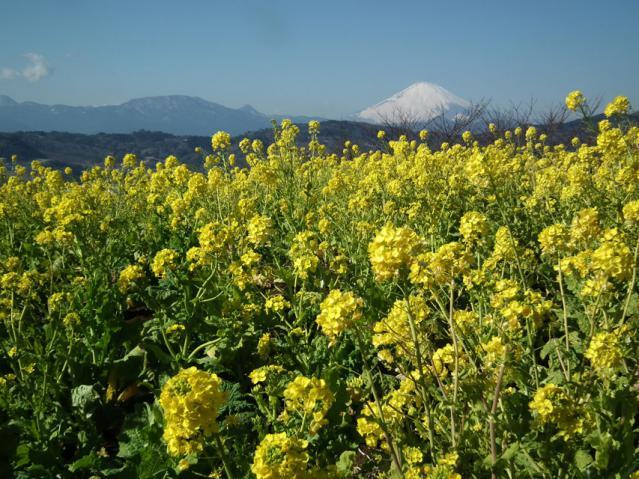 二宮町・吾妻山山頂の菜の花と富士山(2)