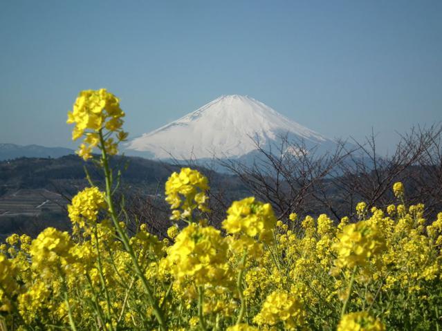 二宮町・吾妻山山頂の菜の花と富士山(3)