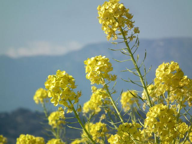 二宮町・吾妻山山頂の菜の花(1)