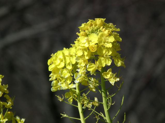 二宮町・吾妻山山頂の菜の花(2)