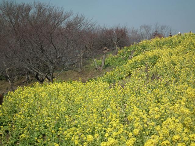 二宮町・吾妻山山頂の菜の花(3)