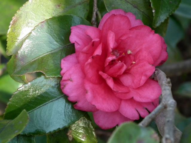 二宮町・吾妻山に咲く椿